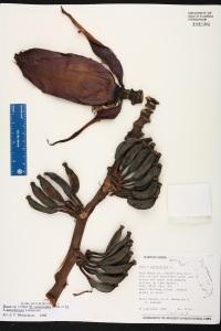 musa paradisiaca191580
